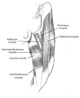 Disorders of the Pelvic Limb: Diagnosis and Treatment | Veterian Key