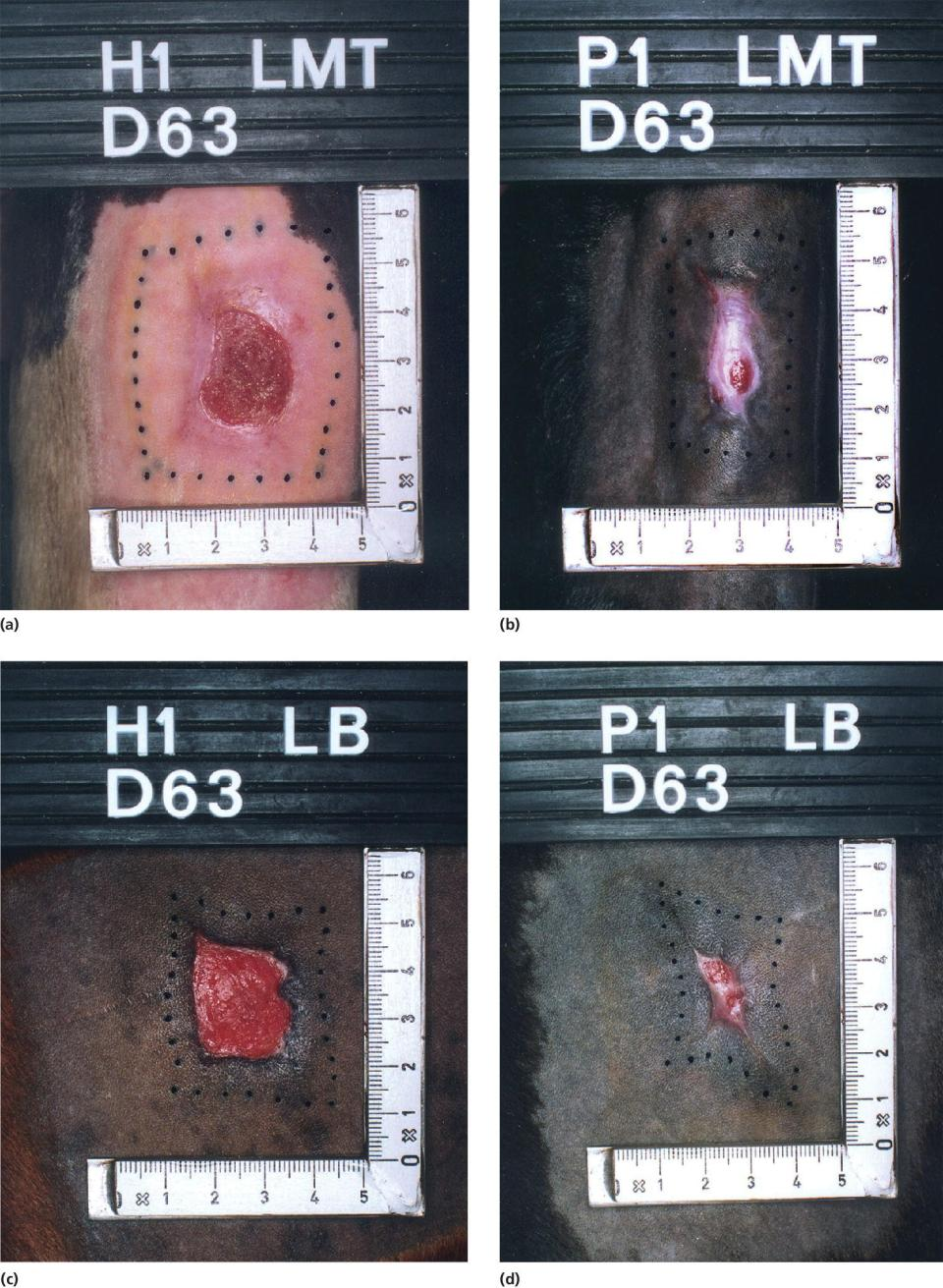4 Photos displaying the metatarsal wound of horse decreased in size, closure of the metatarsal wound of pony, buttock wound of horse healed by contraction, and buttock wound of pony damaged while shaving the hairs.