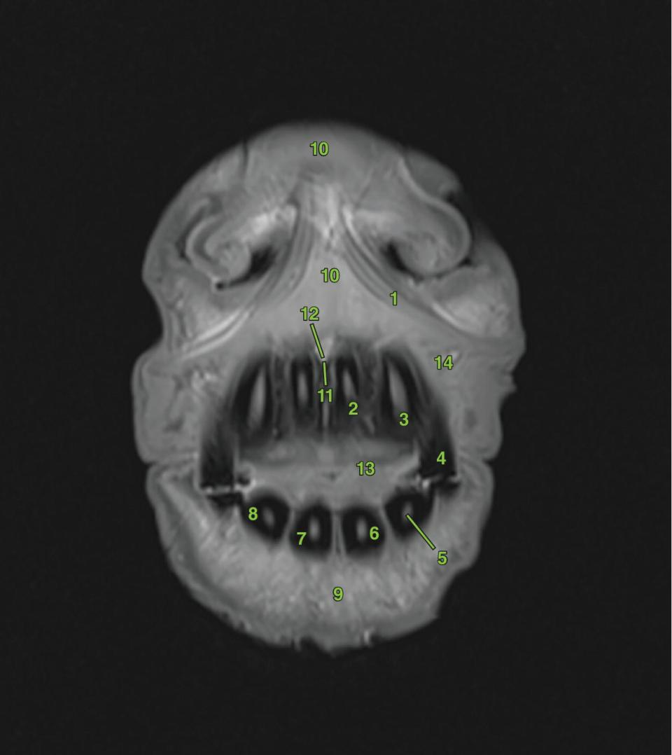 Photo of transverse section 1 displaying the oral and dental structures of a horse marked 1–4.