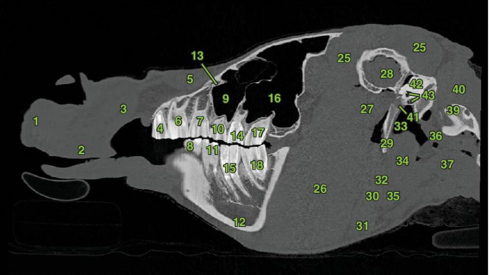 3 Radiographs of sagittal section 1 displaying the ophthalmic structures, glandular structures, oral and dental structures, vascular anatomy, muscles, and bones of the head of a horse.