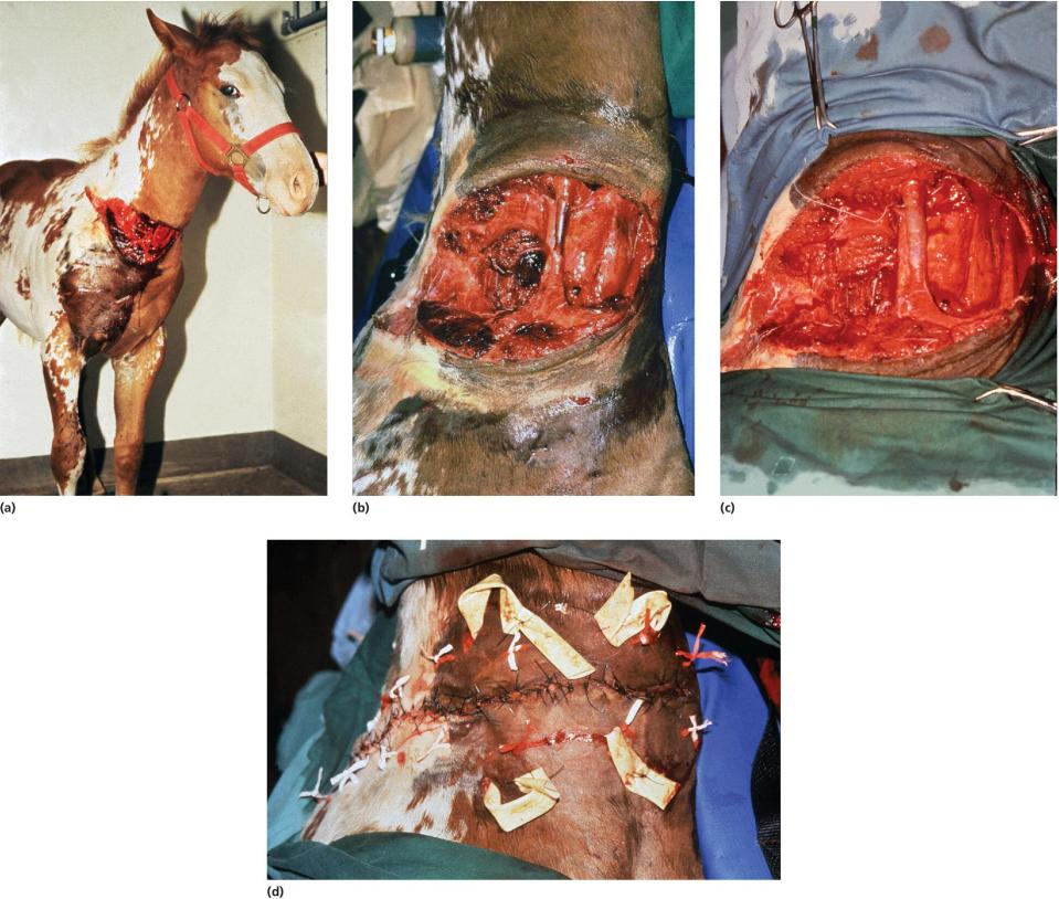 4 Photos displaying foal with neck laceration, exposed jugular vein missing much of perivascular tissue, wound after debridement, and Penrose drains placed with tissue and skin closed using interrupted suture.