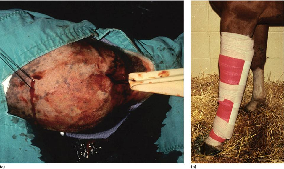 2 Photos displaying a Penrose drain inserted through the stab incision of a horse at the distal extent of the hygroma (left), and the limb bandaged and held in extension with a splint for several weeks (right).
