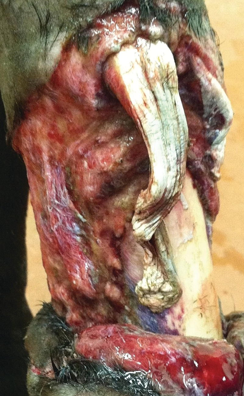 Photo displaying a horse with large, degloving wounds on the dorsal surface of the metacarpus/metatarsus.