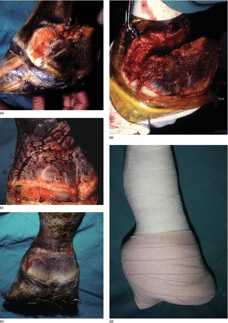 5 Photos of a wound on a horse after 5 days of treatment. They display healthy, granulation tissue; excessive granulation tissue excised; sutures used; a distal limb cast; and healing after removal of cast.