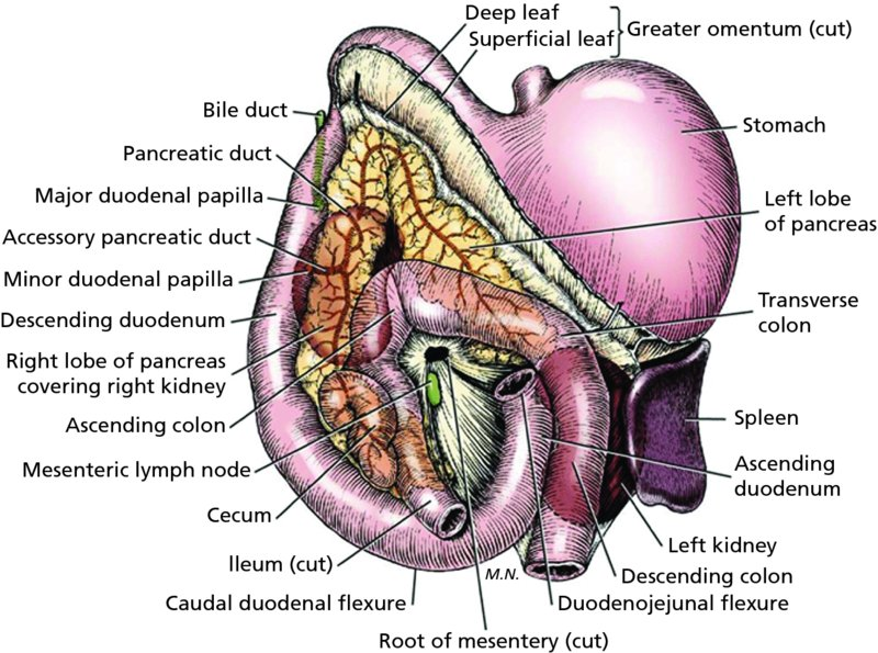 Anatomy Of Pancreatic Duct Choice Image - human body anatomy