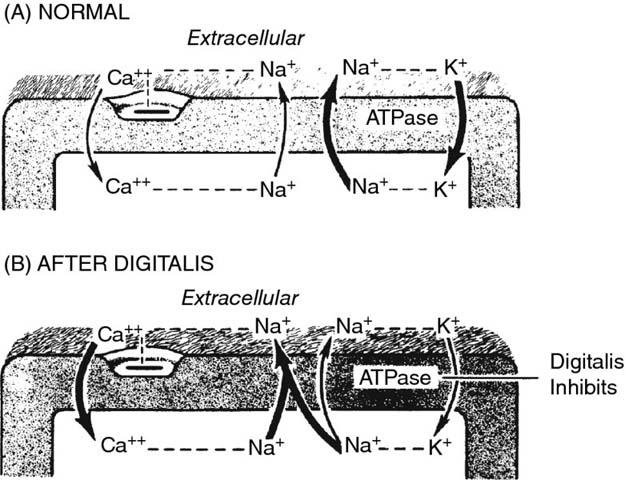 Diagrams show mechanism of inotropic action at normal and after digitalis having extracellular with ca++, Na+, K+, ATPase, et cetera.