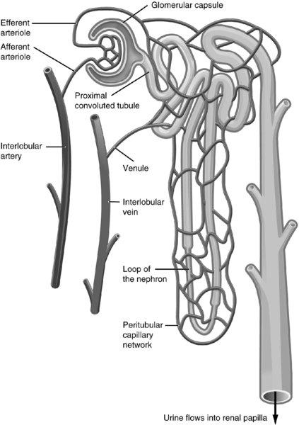 Diagram shows anatomy of nephron having efferent arteriole, afferent arteriole, interlobular artery, et cetera.