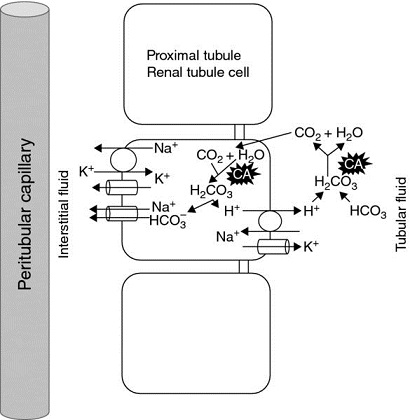 Diagram shows proximal convoluted tube having peritubular capillary with interstitial fluid and proximal tubule with renal tubule cell and tubular fluid.
