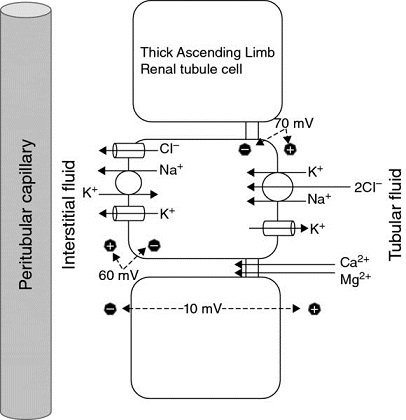 Diagram shows ion movement in proximal convoluted tube having thick ascending limb and proximal tubule with renal tubule cell and tubular fluid.