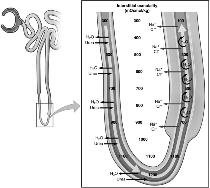 Diagram shows Henle countercurrent loop having several levels of urea with interstitial osmolality.