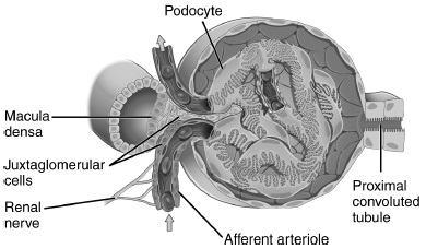 Diagram shows anatomy of glomerulus, macula densa, with podocyte, proximal convoluted tubule, macula densa, et cetera.