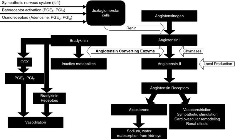 Flow chart shows renin-angiotensin-aldosterone system having cells, different staged of angiotensin, vasodilation, et cetera.