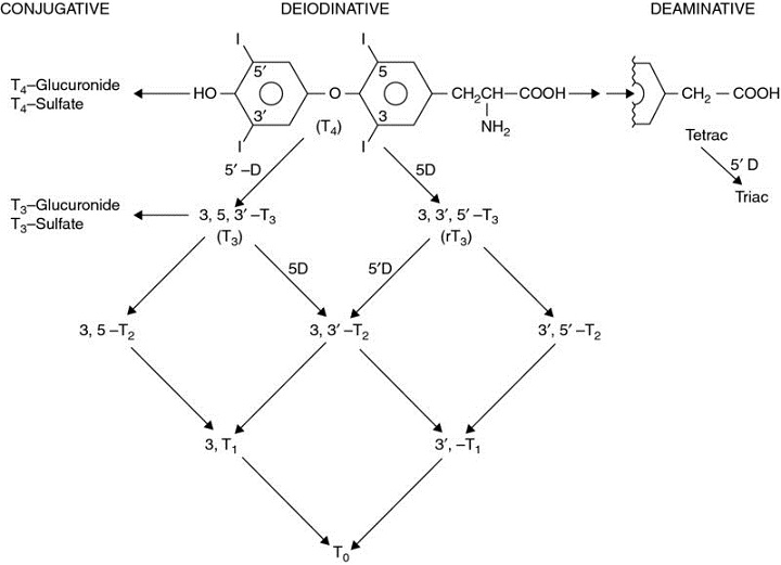 Diagram shows pathways of metabolism like conjugative, deiodinative, and deaminative with several compounds.