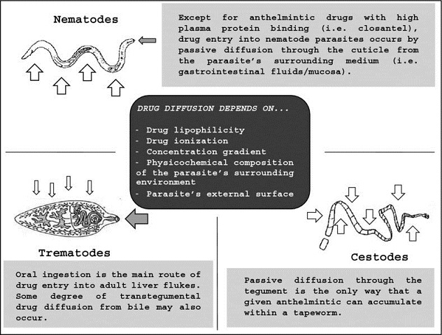 Diagram shows labels for nematodes, trematodes, and cestodes, and box for drug diffusion depends on with markings for drug ionization, concentration gradient, et cetera.