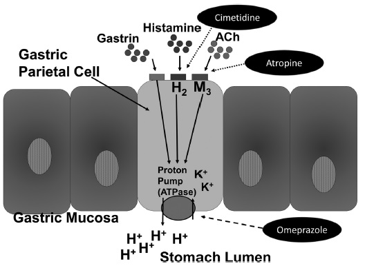 Diagram shows stomach antisecretory drugs action with markings for gastric parietal cell, gastrin, histamine, ACh, cimetidine, atropine, gastric mucosa, et cetera.
