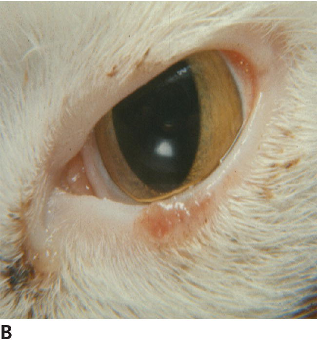 Photo of feline SCC, focal, early lesion involving nonpigmented, sparsely haired skin.