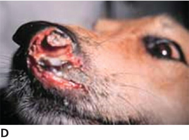 Photo of canine SCC, advanced lesion with marked ulceration and destruction of the nasal planum.