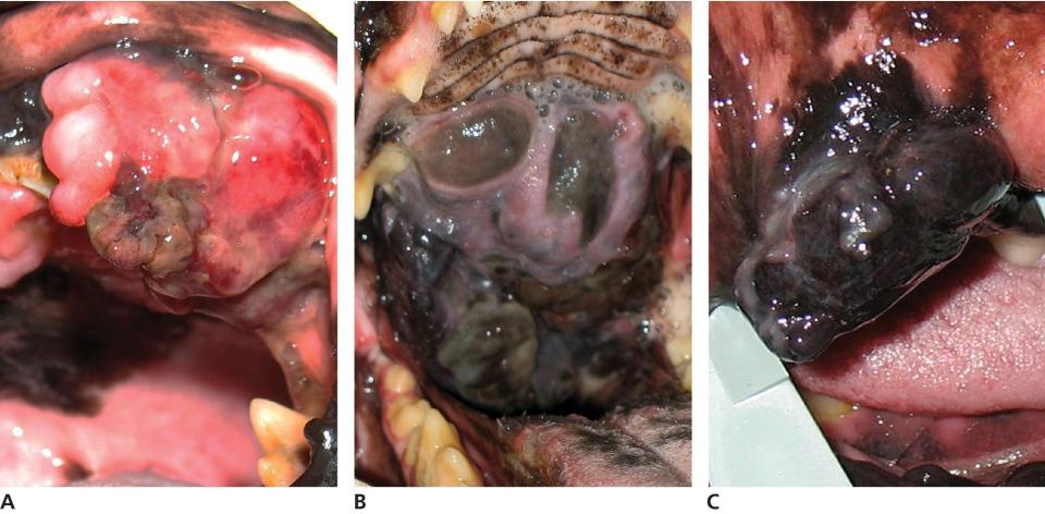 3 Photos of malignant melanoma in a dog's mouth displaying pigmented mass from the upper gum (a), ulcerated sessile pigmented mass on the hard palate (b), and an immobile mass on the inner lip (c).