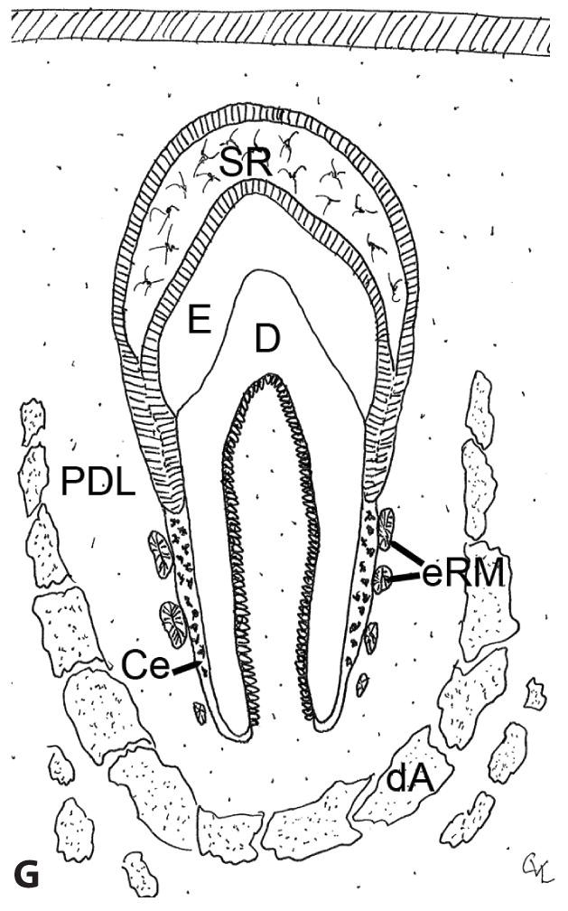 Line drawing of tooth development of Hertwig's root sheath regressing, leaving behind epithelial rests of Malassez and cementoblasts covering root dentin with cementum.