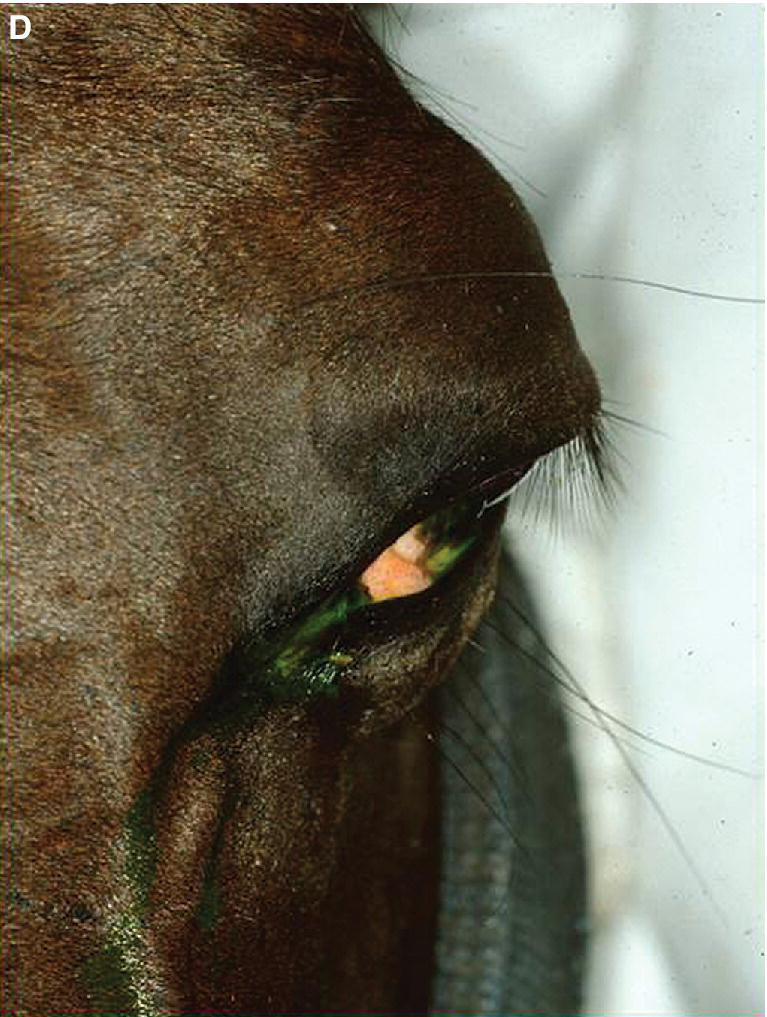 Photo of a horse with downward deviation of the cilia (eyelashes).