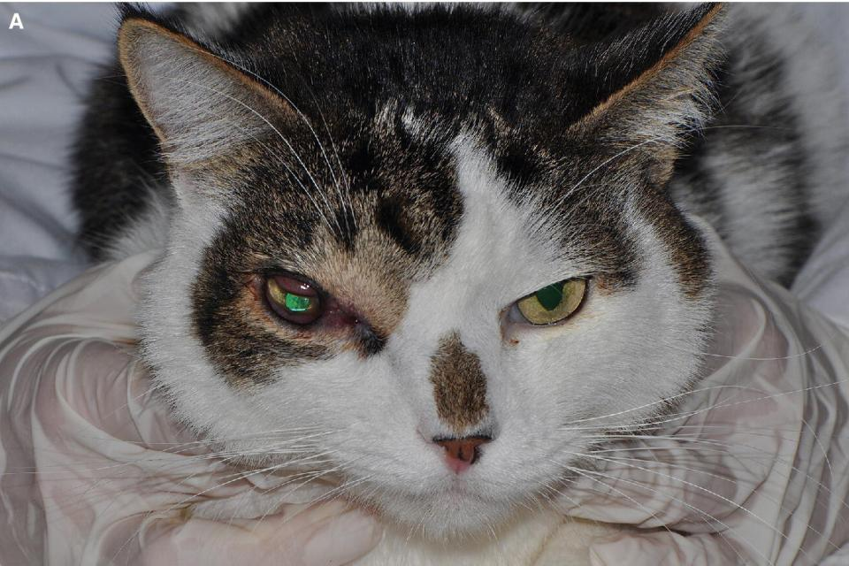 Photo of a cat with exophthalmos. Conjunctival hyperemia and chemosis and serosanguinous ocular discharge are noticeable on the right globe.