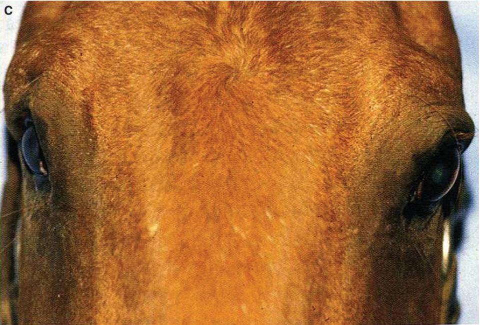 Photo of a horse with enophthalmos on the right globe.