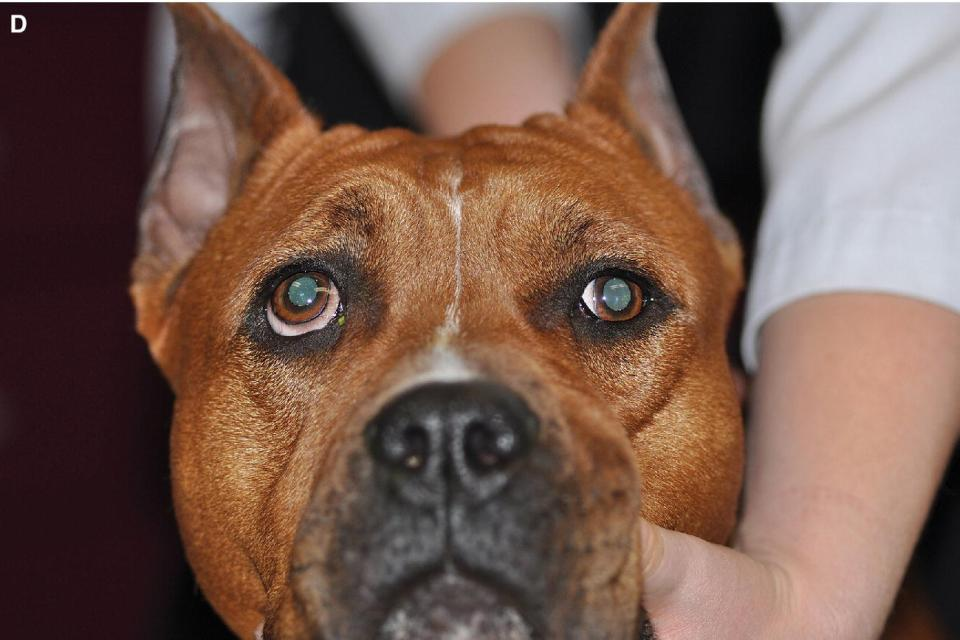 Photo of a dog with dorsolateral strabismus of the right globe.