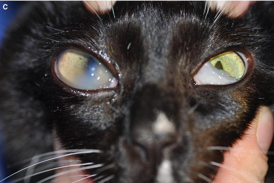 Photo of a cat with enlargement of the left globe (buphthalmos) resulting from elevation in intraocular pressure with glaucoma.