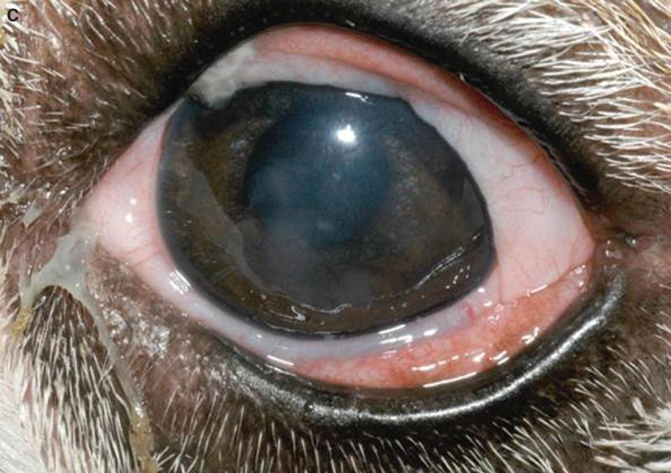Photo displaying conjunctival hyperemia in an English Bulldog with keratoconjunctivitis sicca.