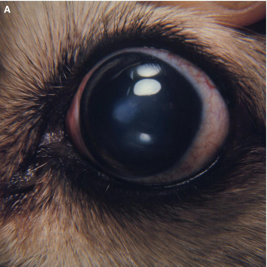 Photo displaying the eye of a Pekingese dog with euryblepharon or an enlarged palpebral fissure with its eyelids longer than normal and with greater exposure of cornea and conjunctiva.