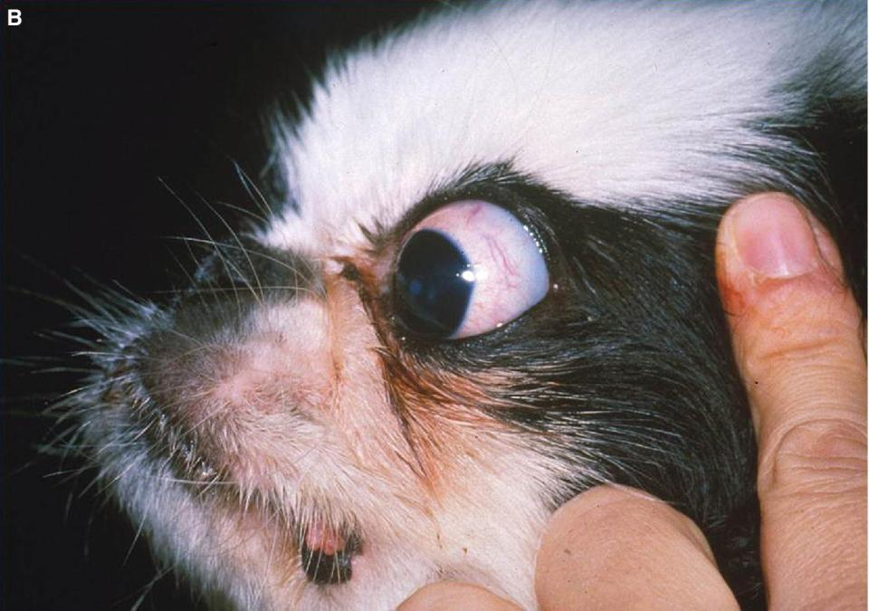 Photo displaying a Shih Tzu dog with euryblepharon facing left with a human hand holding its face with great amount of sclera in its eyes.