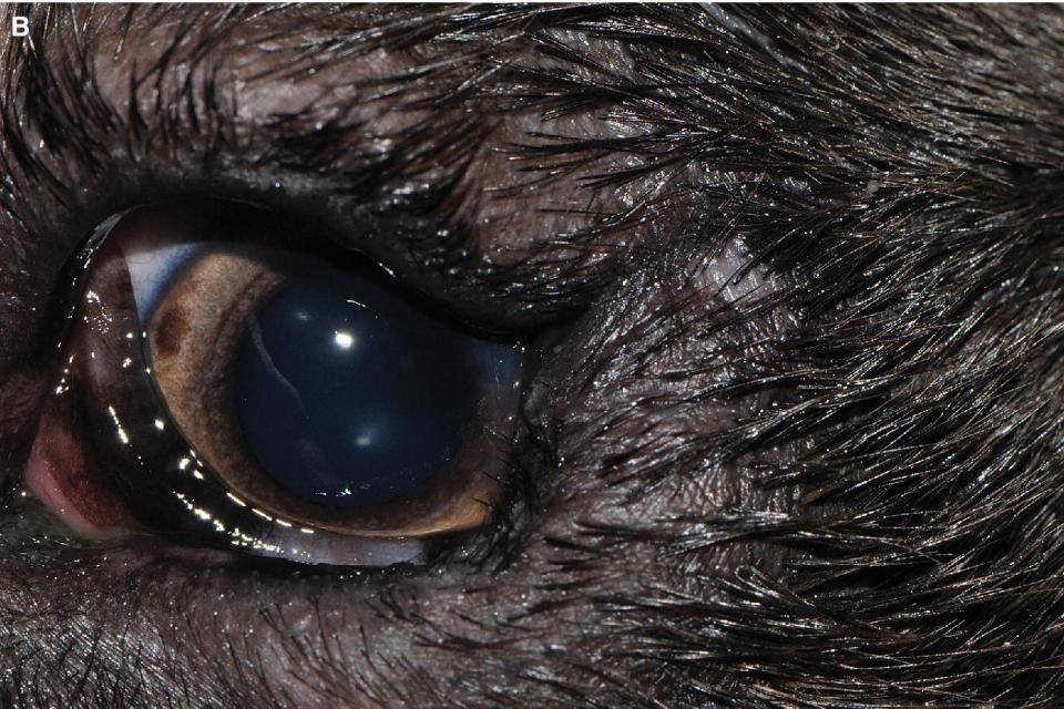 Photo displaying the eye of a young Labrador Retriever with lateral canthal and lower entropion.