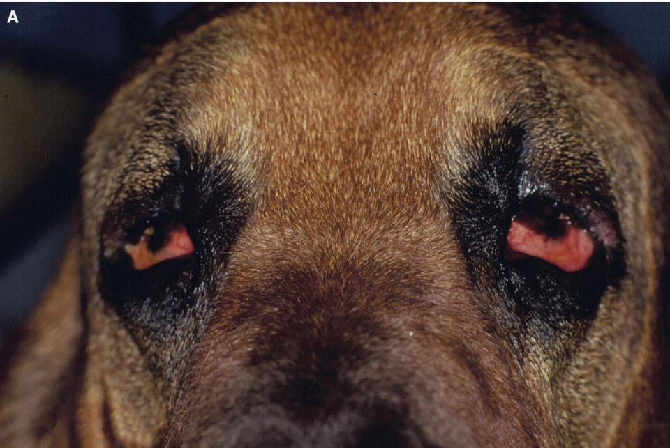 Photo displaying the eyes of a Bloodhound with severe bilateral ectropion with chronic discomfort and secondary bacterial conjunctivitis.