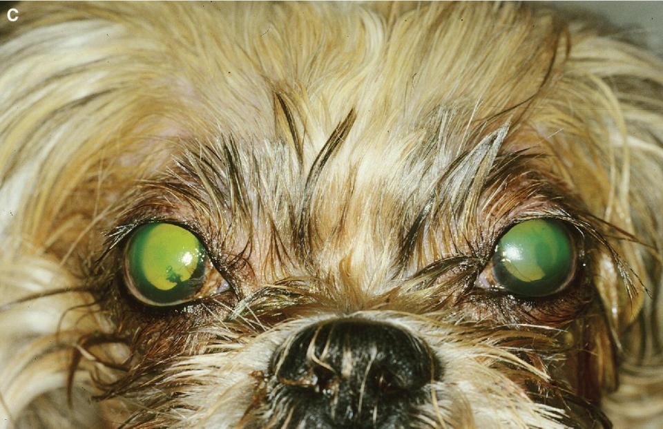Photo displaying a Shih Tzu with acute keratoconjunctivitis sicca with superficial ulcerations of both corneas.