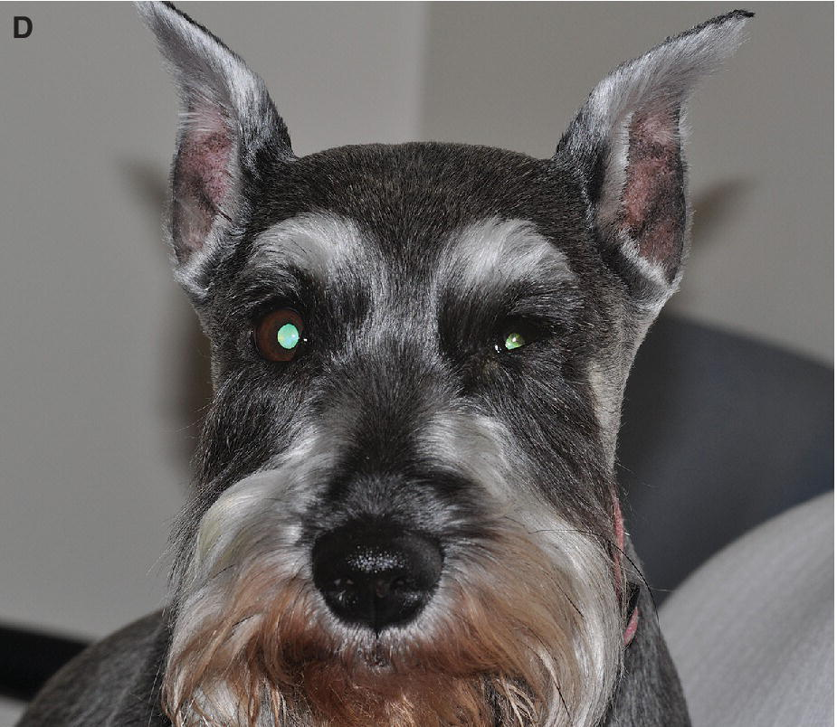 Photo displaying neurogenic KCS in a Miniature Schnauzer characterized by chronic KCS and a dry nostril on the same side with blepharospasm and corneal opacity.