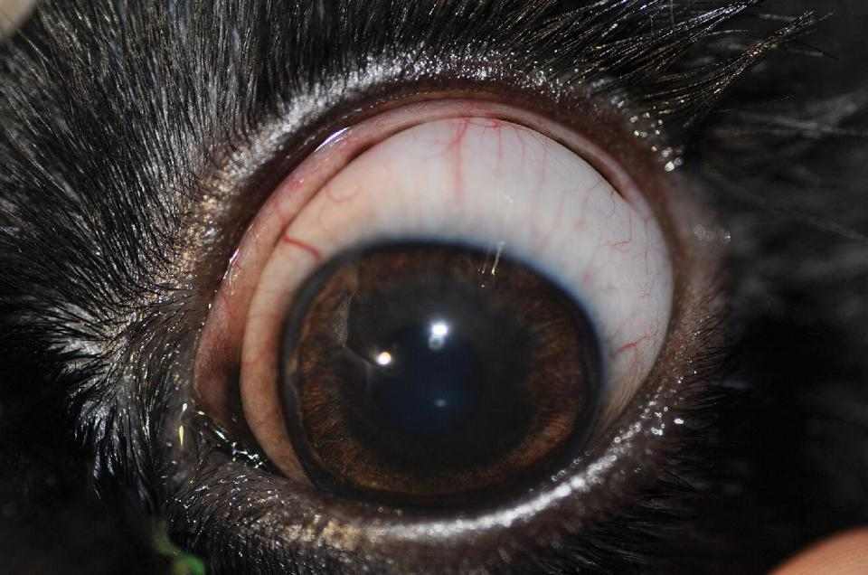 Photo displaying American Cocker Spaniel's eye with encircling nictitans with pigmented conjunctival membrane extending from the leading margin of the nictitans laterally.
