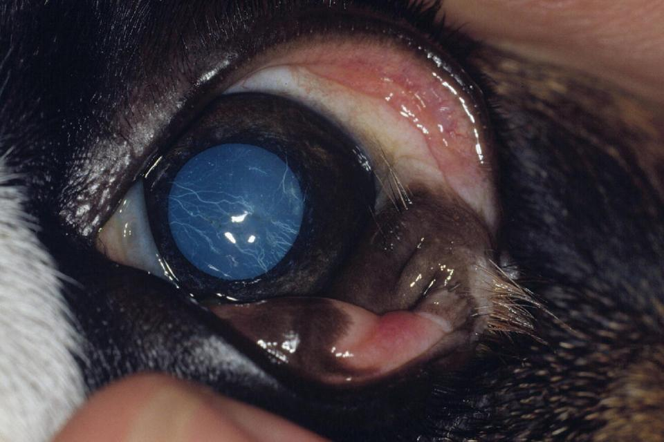 Photo displaying dermoid of the lateral bulbar conjunctiva in an English Bulldog puppy with the mass lightly pigmented and covered by long coarse hair.