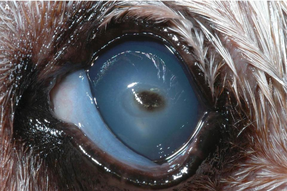 Photo of a dog's eye displaying mycotic keratitis with ulceration and secondary iridocyclitis.