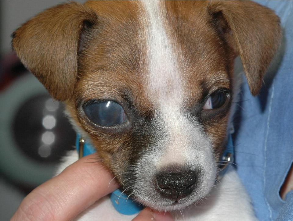 Photo displaying a Jack Russell Terrier puppy with congenital glaucoma and with its enlarging globe and edematous cornea.