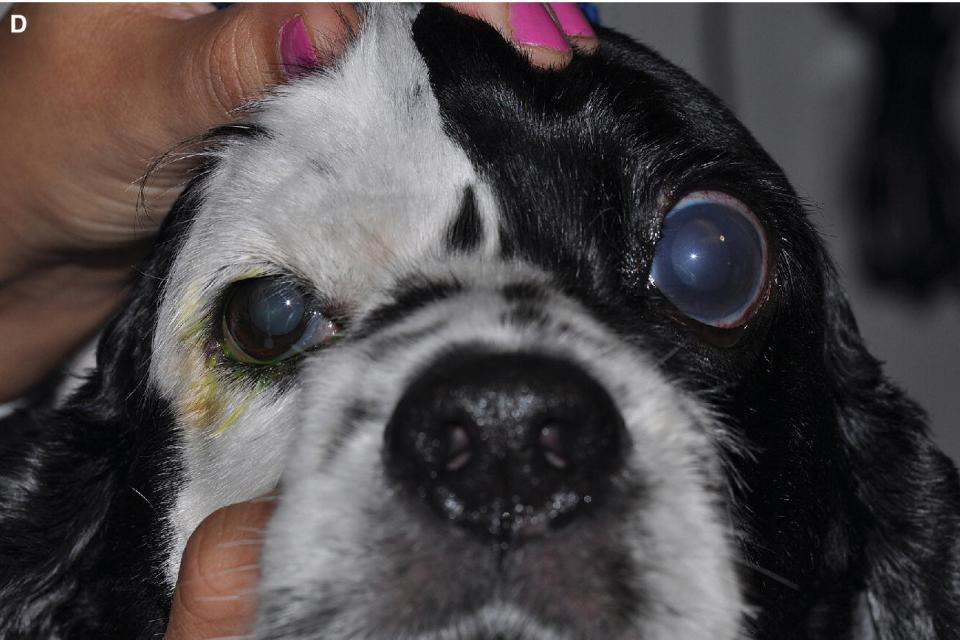 Photo displaying an acute congestive PCAG in the American Cocker Spaniel with an IOP of 66 mmHg noting the corneal edema, dilated pupil, and episcleral congestion.