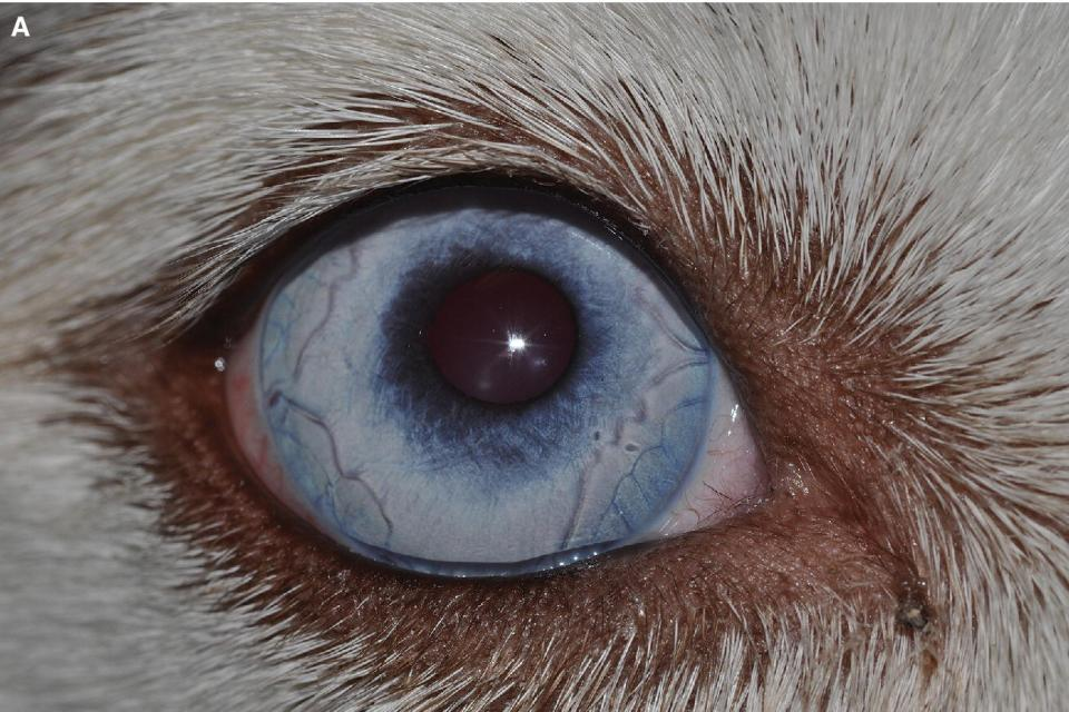 Photo of an eye of a Siberian husky with heterochromia iridis.