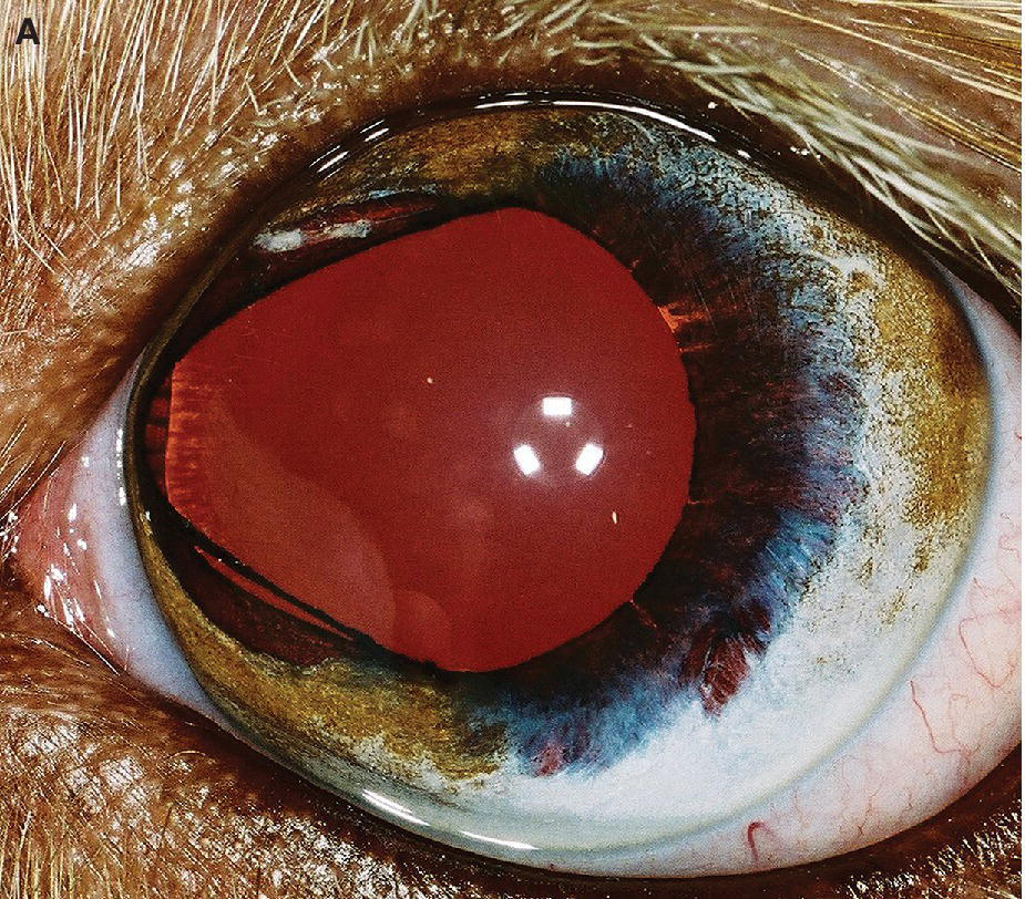 Photo of an eye of an Australian Shepherd puppy with atypical iridal coloboma at the 9 o'clock position.