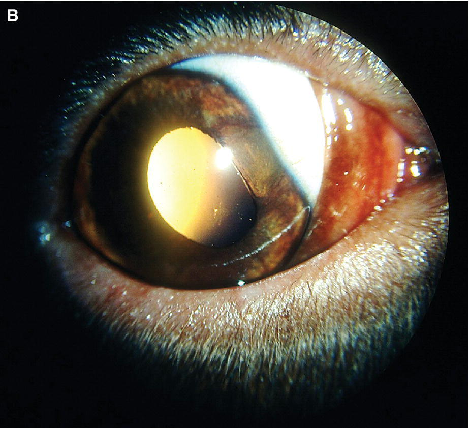 Photo of an eye of a puppy displaying sector iridal hypoplasia.