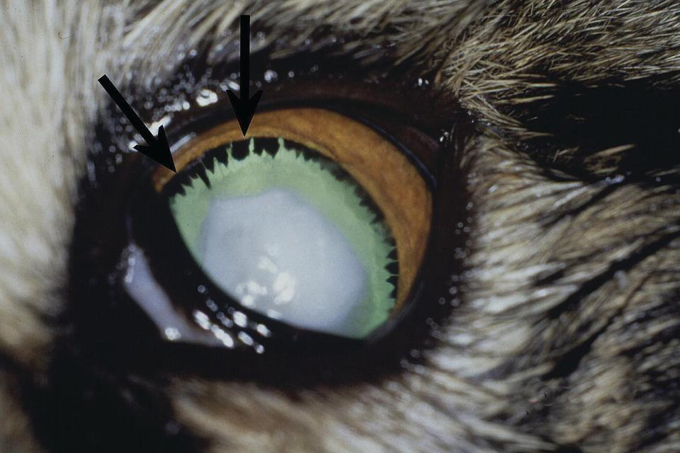 Photo displaying microphakia in a dog's eye, with smaller than normal lens periphery, elongated ciliary processes surrounding the lens equator (arrows), and a complete hypermature cataract.