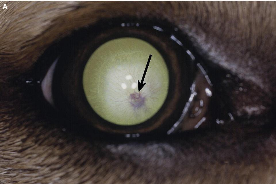 Photo displaying persistent hyaloid vascular remnants in a Labrador retriever puppy's eye, with red hyaloid blood vessels (arrowed), and posterior cortical and capsular cataract.