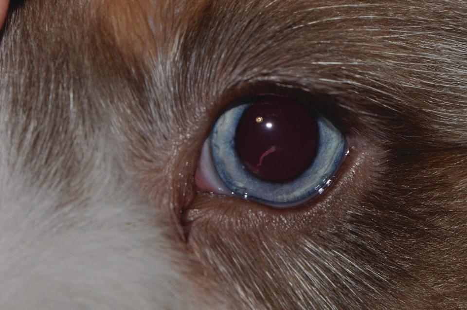 Photo displaying hyaloid remnants at the posterior pole of the lens of a young puppy.