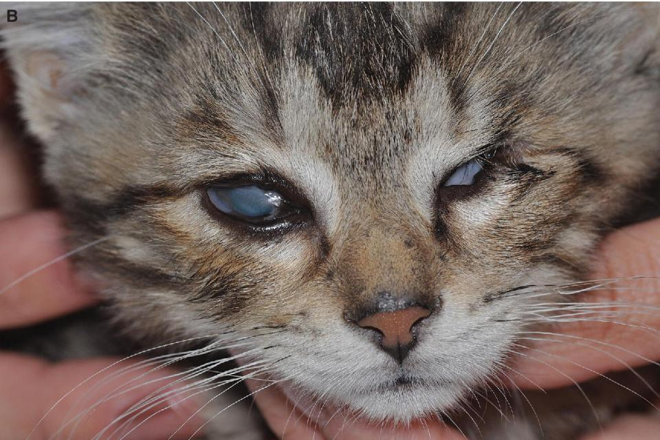 Photo displaying symblepharon affecting the eyelids and the cornea of a kitten.