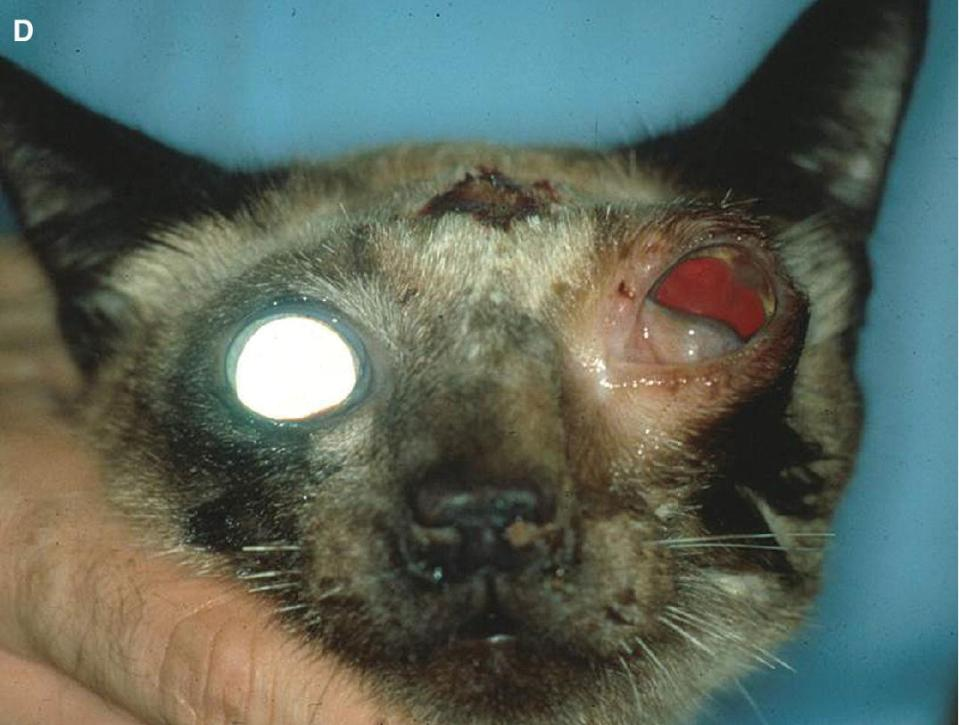 Photo of a cat displaying orbital lymphoma resulted in exophthalmos, deviation of the globe off its axis, and exposure, with impairment of the optic nerve and the optic chiasm resulted in mydriasis and blindness.