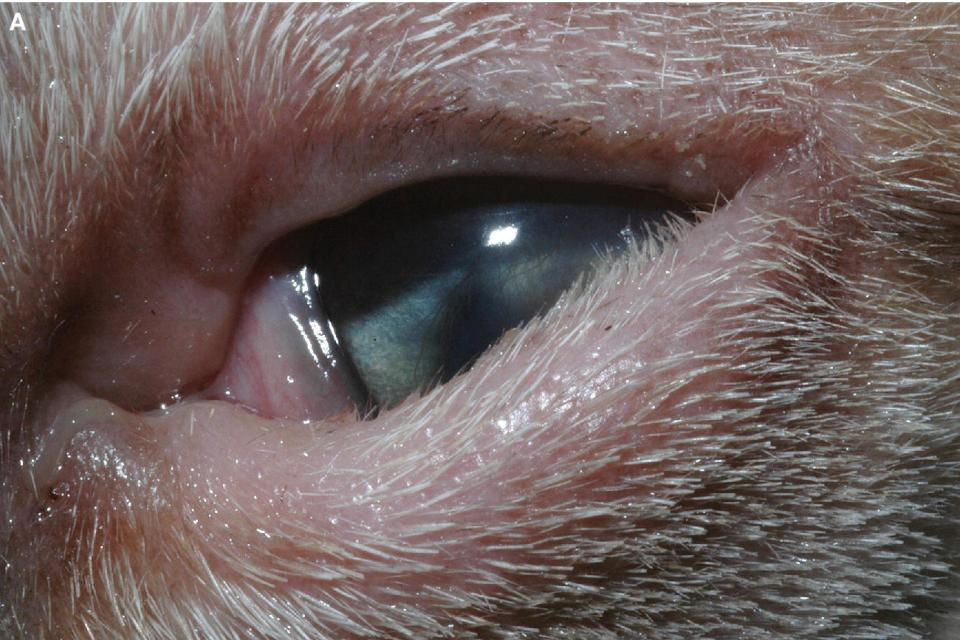Photo of a cat's eye displaying blepharospasm and keratitis from the lid–corneal contact.