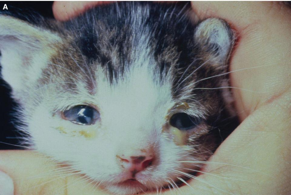 Photo of a kitten displaying primary feline herpesvirus‐1 (FHV‐1) conjunctivitis with copious conjunctival exudates in both eyes.